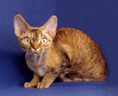 Devon Rex Kittens For Sale Michigan